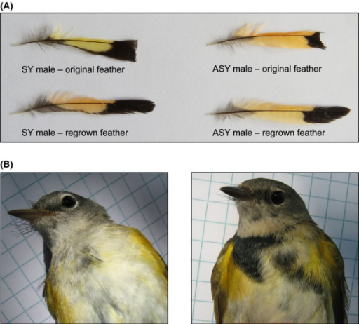 Photographs of original and regrown feathers. A) Photographs of SY and ASY male tail feathers illustrating the color change between original and regrown feathers. SY males experienced a significant reduction in red chroma and shift in hue toward ASY-like orange coloration. ASY males displayed a reduction in brightness and red chroma, but no significant change in hue. B) Photographs of an SY male prior to breast feather plucking (left) and after feather regrowth (right).