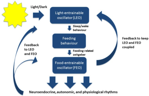 A simplified model of the mammalian circadian system under normal conditions. The light-entrainable oscillator (LEO) is located in the suprachiasmatic nucleus (SCN) of the hypothalamus. The LEO is directly entrained by light-dark cycles in the environment through intrinsically photoreceptive retinal ganglion cells, and generates circadian rest-activity rhythms as well as other rhythms that entrain to the environmental light-dark cycles. The LEO-driven activity rhythms then influence the timing of feeding behavior, which entrains the food-entrainable oscillator (FEO). FEO then drives several neuroendocrine, autonomic, and physiological rhythms throughout the brain and peripheral nervous system. The FEO also sends feedback to the LEO to remain coupled. Under certain conditions when the LEO is dysfunctional, or under conditions of constant darkness, the FEO can drive rest-activity rhythms and other rhythms normally entrained by light.