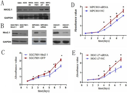 The NKX2.1 protein levels were significantly lower, (A), in the SGC-7901 and higher in the MPC-803 and HGC-27 cell lines than in the normal gastric cell line GES.(B) The NKX2.1 expression was significantly higher in the NKX2.1 transfected SGC-7901 cells and lower in the siNKX2.1 transfected MPC-803/HGC-27 cells than controls. (C-E) The MTS assay showed that NKX2.1 suppressed the proliferation of the over-expressed SGC-7901 and accelerated the proliferation of the down-regulated MPC-803/HGC-27 cells, * P < 0.05.