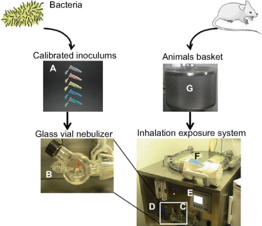 Whole-body inhalation exposure system.Notes: The Glas-Col® aerosol exposure chamber system (Glas-Col, Terre Haute, IN, USA) is presented here. The bacterial suspension at a known concentration (A) is placed into a glass vial that is a venturi nebulizer (B), connected to a leak-proof gas flow system (C). Pumps generate compressed gas flow to disperse the suspension into a fine mist. Pumps' flow rate is adjusted on manual flowmeters (D). Durations of the aerosolization and decontamination time are set via digital interface software displayed on a screen window (E). High-efficiency particulate arrestance filters, gas incinerators, and UV decontamination (F) processes are all included in a whole block. The system operates under negative pressure. Before aerosolization starts, animals are placed in a stainless steel basket (G).