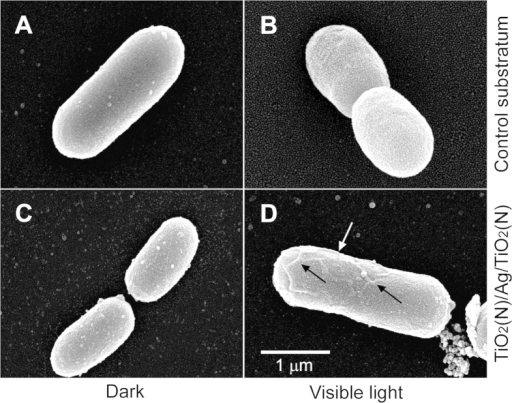 Scanning electron microscopy.The morphology of E. coli cells before (A,C; dark) and after (B,D) subjected to visible-light driven photoinactivation on control substratum (A,B) or on TiO2(N)/Ag/TiO2(N) films (C,D).