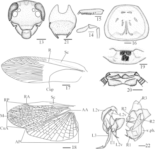 Protagonistalugubris Shelford, male from Hainan: 13 head, frontal view 14 maxillary palps 3–5 15 front femur 16 pronotum 17 tegmen 18 hind wing 19 abdominal tergum 1, dorsal view 20 supra-anal plate and paraprocts, ventral view 21 subgenital plate, dorsal view 22 left phallomere and right phallomere. Scale bars: 1.0 mm (13, 15–16, 19–21), 0.5 mm (14, 22), 2.0 mm (17–18).