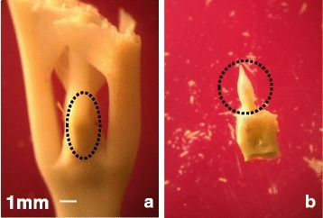 Tissue dissection of plagiotropic buds. a The plagiotropic buds (including small leaves) were collected from plants during the 2011 dry season and used to extract RNA for qPCR expression analysis. b Meristem and leaf primordium dissected from plagiotropic buds harvested during the 2009 dry season and used to extract RNA for pyrosequencing. The dotted circles show the position of meristem and leaf primordium. The same scale (white bar = 1 mm) is used for both documents