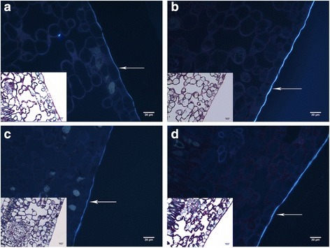 Comparative analysis of leaf histological cross sections of IAPAR59 (a and b) and Rubi (c and d) cultivars of C. arabica under control (irrigation: a and c) and drought (b and d) conditions. Samples were double stained with Schiff and NBB and observed under wide field (at the bottom left of each image) and fluorescent microscopy (A4 filter). LE = Lower (abaxial) epidermis. The white arrows indicate the fluorescent cuticle. Values of leaf cuticle thickness are given in Table 4. Bars = 20 μm