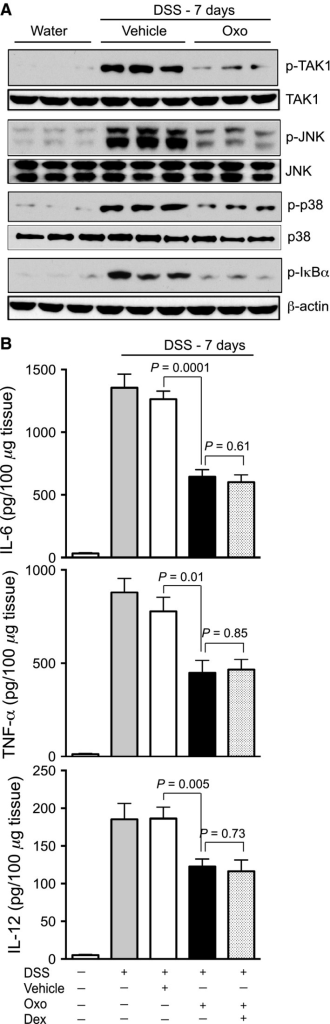 Pharmacological inhibition of TAK1 prevents expression of inflammatory signaling mediators and cytokine in acute IBD. Male and female C57BL/6 mice (n = 12–15 per group) were on 3% DSS for 7 days. Mice were treated with TAK1 inhibitor Oxo or vehicle (DMSO + mineral oil) (5 mg/kg) and sacrificed as illustrated in (A). (A) Colon tissue homogenates were analyzed by immunoblot analysis using anti‐phospho TAK1 (p‐TAK1), total TAK1 (TAK1); anti‐phospho JNK (p‐JNK), total JNK (JNK); anti‐phospho p38 MAPK (p‐p38), total p38 MAPK (p38); anti‐phospho IκBα and β‐actin antibodies. (B) Expression of IL‐6, TNF‐α and IL‐12 in colon homogenates were analyzed by ELISA. Data presented as mean ± SEM.