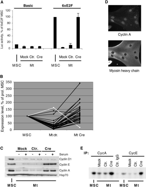 Reactivation of cell cycle regulators in ΔRb-Mt. (A) Luciferase activity measured in MSCs stably transfected with the control (Basic) or E2F-responsive (6xE2F) reporter construct and derived myotubes (Mt) infected with the indicated viruses; data are averages of two independent experiments, with SDs, and are expressed as percentage of value obtained in 6xE2F-MSC. (B) DNA microarray analysis of MSCs and myotubes infected with control or Cre adenovirus; each line represents a distinct mRNA; values are averages of two independent experiments and are shown as percentages of measurements obtained in MSCs (see Table S1); white line indicates pRb mRNA. (C) Western blot analysis of the indicated proteins in MSCs or myotubes infected as shown, in the presence or absence of 5% FBS; HSP70 indicates loading control. (D) IF for MyHC and cyclin A on ΔRb-Mt. (E) Cyclin A and cyclin E kinase complexes were immunoprecipitated from MSCs or infected myotubes, reacted with histone H1 in the presence of γ-[32P]ATP, resolved by gel electrophoresis, and autoradiographed; Ctr. IgG indicates control-infected myotubes immunoprecipitated with normal rabbit IgG.