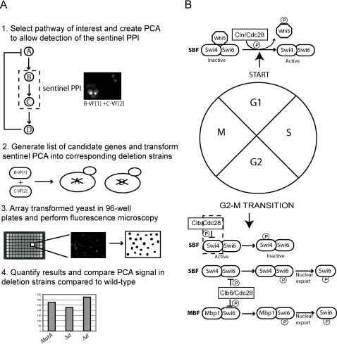 The GePPI screening strategy to identify proteins involved in the inactivation of SBF via phosphorylation by Clb/Cdc28.(A) A schematic representation of the GePPI screening strategy. 1) A biological pathway of interest is selected and a PCA assay is created that detects one or more sentinel PPIs of this pathway in wild-type yeast. In this example, protein A activates the sentinel interaction between proteins B and C, whereas protein D inhibits the interaction via a negative feedback loop. 2) Candidate genes are selected and plasmids encoding the PCA fusion proteins for each assay are transformed into the corresponding deletion strains. 3) Transformed deletion strains are screened in 96-well plates by fluorescence microscopy and images are collected and processed using image analysis software. 4) Strains are selected for which the PCA signal is significantly decreased or increased, as this type of analysis can be easily automated for yeast without the use of counter-stains that are required to identify changes in sub-cellular localization. In this example, deletion of protein A results in a decrease in the PCA signal, whereas deletion of protein D results in an increase in signal. (B) Regulation of SBF and MBF throughout the cell cycle. Activation of SBF involves phosphorylation of the SBF-associated repressor Whi5 by Cln/Cdc28 during G1. Phosphorylation of Whi5 leads to its dissociation from SBF followed by nuclear export. Inactivation of SBF in G2/M involves phosphorylation of Swi4 by Clb/Cdc28 activity. Regulation of MBF is less well understood but phosphorylation of Swi6 by Clb6/Cdc28 followed by Swi6 nuclear export may be a mechanism of inactivation of both SBF and MBF. The sentinel interaction between Cdc28 and Swi4 is indicated by dashed box.