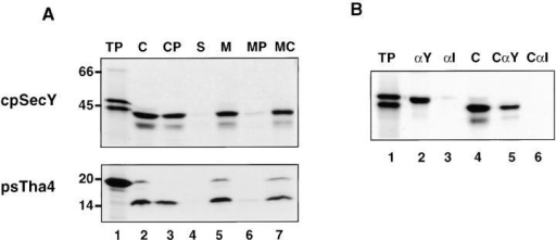 cDNAs for pea cpSecY and psTha4 encode precursor proteins that are imported into chloroplasts and localized to thylakoids. (A) In vitro synthesized pea cpSecY and psTha4 were incubated with intact chloroplasts in the presence of ATP for 10 min. Chloroplasts were repurified without (C, lane 2) or with (CP, lane 3) posttreatment with thermolysin. Repurified chloroplasts were also fractionated into stroma (S, lane 4) and total membranes (M, lane 5) and the membranes treated with thermolysin (MP, lane 6), or extracted with 0.2 M Na2CO3 (MC, lane 7). Lane 1 contains the equivalent of 1 μl of translation product and lanes 2–7 contain samples representing 5 μl of the amount of translation product added to the import reaction. SDS-PAGE/fluorograms are depicted. (B) Radiolabeled pea cpSecY translation product (lane 1) or chloroplasts recovered from an import reaction with precursor to cpSecY (lane 4) were immunoprecipitated with antibody directed against the COOH terminus of pea cpSecY (see Materials and Methods) (lanes 2 and 5) or an irrelevant antibody (anti-psTha4; lanes 3 and 6) and the samples were analyzed by SDS-PAGE/fluorography.