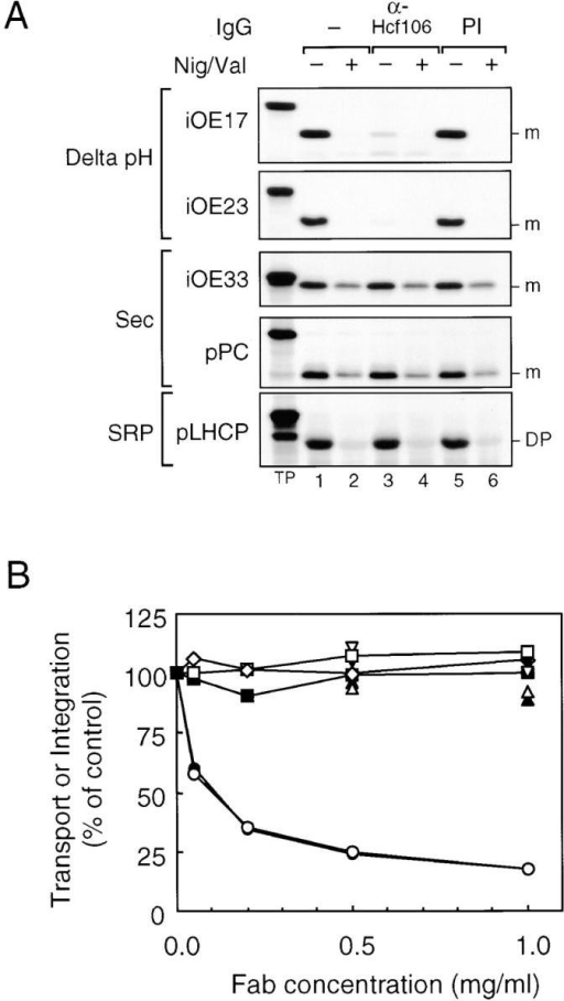 Inhibition of Delta pH pathway protein transport by antibodies to Hcf106. (A) Maize thylakoids were preincubated with 0.1 mg/ml anti-Hcf106 or preimmune (PI) IgGs. Thylakoids were then washed and assayed for transport or integration of various precursors in the absence (lanes 1, 3, and 5) or presence (lanes 2, 4, and 6) of 0.5 μM nigericin and 1.0 μM valinomycin (Nig/Val). The radiolabeled precursors used in each assay are indicated next to the panel. (B) Maize thylakoids were preincubated with increasing amounts of anti-Hcf106 Fab fragments in the absence or presence of 20 μM hcf106sd or with PI-Fab. After washing, the thylakoids were assayed for protein transport or integration. iOE17 (•, anti-Hcf106; ▴, plus hcf106sd; ▾, PI-Fab), iOE23 (○, anti-Hfc106; ▵, plus hcf106sd; ▿, PI-Fab), iOE33 (□), pPC (⋄), and pLHCP (▪). Radiolabeled bands were extracted from excised gel bands and quantified by scintillation counting.
