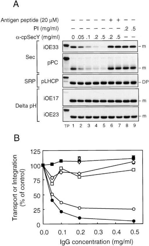 Antibodies to cpSecY inhibit protein transport of cpSecA-dependent substrates, but not those of the Delta pH or cpSRP pathways. (A) Pea thylakoids were preincubated and assayed for transport or integration as in Fig. 6 except that anti-cpSecY IgG and 20 μM antigen peptide were used. (A) A fluorogram of the transport assays. Precursors used and other conditions were as shown in the figure. (B) Quantification of transport assays shown in A. iOE33 (•, anti-cpSecY; ▴, plus antigen peptide; ▾, PI-IgG), pPC (○, anti-cpSecY; ▵, plus antigen peptide; ▿, PI-IgG), iOE17 (□, anti-cpSecY), iOE23 (⋄, anti-cpSecY), and pLHCP (▪, anti-cpSecY). Radiolabeled bands were extracted from excised gel bands and quantified by scintillation counting.