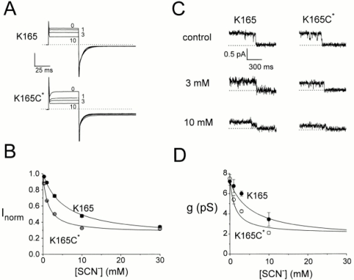 Comparison of the SCN− block between K165 and K165C* channels. (A) SCN− block of the whole oocyte current. Pulsing protocol 2. Numbers indicate the SCN− concentrations (millimolar) in the bath solution. Dotted lines are zero-current level. Vertical scale bar represents 12 and 2 μA for K165 and K165C*, respectively. (B) The K165C* channel was more sensitive to the SCN− block. Data points derived from experiments like those in A. Solid curves were drawn according to: Inorm = I∞ + (1 − I∞)/(1 + [SCN−]/K1/2), with values of K1/2 and I∞: (K165) 5.5 mM and 0.21; (K165C*) 1.3 mM and 0.27 (n = 4). (C) Single-channel recording of the SCN−-blocked K165 and K165C* channels at +40 mV. Symmetrical solutions on both sides of the membrane except that the indicated concentrations of NaSCN were added in the pipette solution. Dotted lines are zero-current level. (D) Averaged single-pore conductance at +40 mV (n = 3–8). The two current levels in traces like those shown in C were determined from all-points amplitude histograms and the difference in current was divided by two to calculate the conductance of one pore. Solid curves are the same curves from B after multiplying the respective channel conductance in the absence of SCN−.