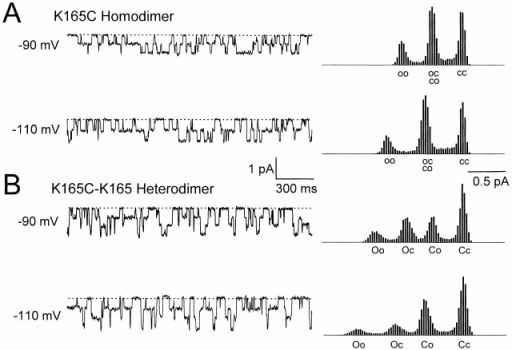 (A) Single-channel recordings of the MTSPA-modified K165C homodimer at −90 and −110 mV. Dotted lines represent zero-current level. Next to each trace are current amplitude histograms compiled from 30 s (top and bottom) of recording traces containing the 2-s examples on the left. (B) Single-channel recordings of the MTSPA-modified K165C-K165 heterodimer. Amplitude histograms were from 23 s (top) and 30 s (bottom) of recording traces. Capital and small letters represent the pores with big and small conductances, respectively. C, close; O, open. The smaller conductance level in the heterodimer corresponds to the MTSPA-modified pore and is equal to the conductance levels in the homodimer shown in A.