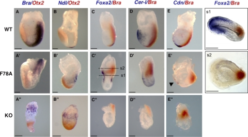 Analysis of gastrulation defects in criptoF78A/F78A mutants reveals a hypomorphic phenotype. Wild-type (top), criptoF78A/F78A (middle), and cripto- (bottom) embryos at 7.5 dpc stained by whole-mount mRNA in situ hybridization. All embryos are shown with anterior side toward the left. (A, A′, and A″) Double staining of Brachyury (blue) and Otx2 (red) mRNAs in the primitive streak and anterior neurectoderm, respectively, reveals normal A–P patterning in wild-type (A) and criptoF78A/F78A embryos (A′). In contrast, in cripto- mutants (A″), cells expressing Brachyury and Otx2 remain in the proximal and distal epiblast, respectively. (B, B′, and B″) Double staining for Nodal (blue) and Otx2 (red) in wild-type embryos marks the node and the anterior neuroectoderm, respectively (B). In criptoF78A/F78A embryos (B′), Nodal mRNA is expressed in a group of posterior cells, whereas it is confined to the embryonic–extraembryonic boundary in cripto- mutants (B″). (C, C′, and C″) Double staining of Foxa2 (blue) and Brachyury (red). (C) Foxa2 is expressed in the node and axial mesendoderm of wild-type embryos. (C′) In criptoF78A/F78A embryos, Foxa2 marks both the distal primitive streak and the anterior side of the embryo. (C″) Foxa2 is not expressed in cripto- embryos. (D, D′, and D″) Double staining for Cer-1 (blue) and Brachyury (red) reveals that Cer-1 marks the anterior definitive endoderm in both wild-type (D) and criptoF78A/F78A (D′) embryos. In contrast, Cer-1 expression is absent in cripto- mutants (D″). (E, E′, and E″) Double staining for Chordin (blue) and Brachyury (red). Chordin marks the axial mesendoderm in wild-type (E) and criptoF78A/F78A (E′, arrowhead) embryos; however, the axial mesoderm is not expressed in cripto- mutants (E″). (s1 and s2) Transverse sections taken from the embryo in C′. Foxa2 signal is localized throughout the anterior proximal region of the embryo, revealing the presence of mesoderm and definitive endoderm (s1). Brachyury expression is confined to posterior embryonic and extraembryonic mesoderm. Bars, 50 μm.