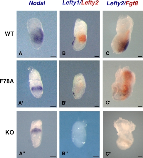 Effector genes in the Nodal pathway are only partially inhibited in criptoF78A/F78A mutants. (A, A′, and A″) Wild-type (top), criptoF78A/F78A (middle), and cripto- (bottom) embryos stained for Nodal at 6.75 dpc. In the wild type, Nodal marks the primitive streak and the posterior mesoderm (A), whereas it is confined to the rim of the proximal epiblast in both criptoF78A/F78A (A′) and cripto- embryos (A″). (B, B′, and B″) Expression of Lefty1 (blue) and 2 (red) mRNA at 6.75 dpc. In the wild type, Lefty1 marks the anterior visceral endoderm, whereas Lefty2 is expressed in the nascent mesoderm (B). Lefty1 and 2 are weakly expressed in criptoF78A/F78A embryos (B′) but are completely absent in cripto- mutants (B″). (C, C′, and C″) At 7.5 dpc, wild-type embryos express both Lefty2 (blue) and Fgf8 (red) in the primitive streak (C). In criptoF78A/F78A embryos, Lefty2 expression is detectable at reduced levels at the posterior pole of the embryo. Conversely, Fgf8 expression is up-regulated and ectopically extends into the extraembryonic region (C′). In sharp contrast, cripto- mutants express neither Lefty2 nor Fgf8 (C″). Bars, 50 μm.