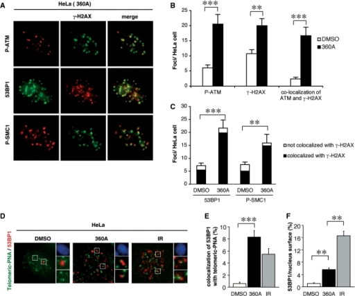 360A induces DNA damage signaling. (A–C) 53BP1 and phosphorylated forms (P-) of ATM and SMC1 form foci that co-localized with γ-H2AX following 360A treatment in HeLa cells. HeLa cells were treated with 5 µM 360A (or 0.05% DMSO as control) for 7 days, fixed and costained with anti-γ-H2AX and specific antibodies of 53BP1, P-ATM and P-SMC1. Typical images of 360A-treated HeLa cells exhibited colocalizations between foci of γ-H2AX and DNA repair factors are shown in (A). Histograms (B) show the numbers of P-ATM, γ-H2AX foci and of their colocalization per cell calculated from at least 50 randomly chosen cells for each condition ± SE (***indicate a t-test P-value <0.0001 and **P < 0.005). (C) Colocalizations were quantified by scoring the number of 53BP1 and P-SMC1 foci colocalized or not with γ-H2AX foci in at least 50 randomly chosen cells per condition (***P < 0.0001 and **P < 0.005). (D–F) Colocalization of telomeric-PNA signals (green, in D) and 53BP1 foci (red, in D) in HeLa cells treated with 5 µM 360A (or 0.05% DMSO) for 7 days or exposed to 2 Gy-irradiation (IR) and collected 1 h after irradiation. (D) Colocalization was appreciated on merge images shown on the left for the three conditions. Each image was obtained from a maximum projection of a Z-stack of 15 images, which were previously subjected to 2D deconvolution using the Metamorph software (Universal imaging corp.). Nuclei stained with DAPI (blue) and enlarged views of colocalized foci from the merged image are shown on the right. Percentage of 53BP1 signal colocalized with telomeric PNA signal (E) and percentages of nucleus surfaces occupied by 53BP1 foci (F) in the different conditions were calculated with colocalization module of the Metamorph software (**P < 0.001; ***P < 0.0001).