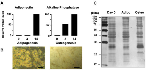 Analysis of terminal differentiation of hMADS cells into adipocytes and osteoblasts and Coomassie Blue staining of hMADS cell secretome. A. qRT-PCR analysis of mRNA levels of specific adipogenic (adiponectin) and osteogenic (alkaline phosphatase) markers at day 3 and day 14 of differentiation as compared to day 0. The data are representative of three independent experiments. B. Microphotographs of hMADS cells differentiated into adipocytes and osteoblasts at day 14. Bar scale = 50 μm. C. Representative gel of secreted proteins from hMADS cells at day 0 and day 3 of differentiating adipocytes (adipo) and osteoblasts (osteo) after 6 h of incubation. The gel is representative of 3 independent experiments.