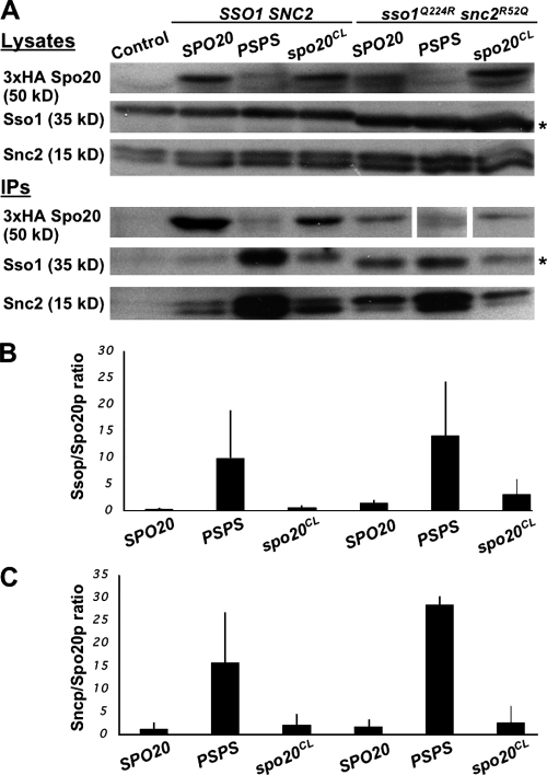 Mutation of the Spo20 helices increases binding of Sso1 and Snc2. Strain HI75 (sso1Δ sso2Δ) was transformed with high copy plasmids expressing 3xHA tagged forms of Δ3-51Spo20, Δ3-51Spo20C224L,S231N, or Δ3-51PSPS chimera. Additionally, these cells carried a CEN plasmid expressing either SSO1 or SSO1Q224R and high copy plasmids expressing SNC2 or SNC2R52Q, respectively. These strains were grown to mid-log in selective medium, lysed, and the HA-tagged Spo20 proteins immunoprecipitated. (A) (top) Western blots of cell lysates from each strain probed with anti-HA, anti-Sso1, or anti-Snc2 antibodies. 3X-HA indicates bands corresponding to the different Spo20 mutants; (bottom) Western blots of anti-HA immunoprecipitates from the same lysates. The band corresponding to Δ3-51PSPS in the Sso1Q224R/SncR52Q strain is shown from a longer exposure of the same blot. Asterisk indicates Sso1Q224R, which displays slightly increased mobility compared with the wild-type Sso1. (B) Quantitation of the coprecipitation of Sso1 proteins with the different forms of Spo20. Amounts are expressed as the ratio of Sso1 to Spo20 protein based on relative intensity of bands on the anti-HA and anti-Sso1 blots. Values shown are the average of three experiments. Bars indicate one standard deviation. (C) Quantitation of the coprecipitation of Snc2 proteins with the different forms of Spo20. Amounts are expressed as the ratio of Snc2 to Spo20 protein based on relative intensity of bands on the anti-HA and anti-Snc2 blots. Values shown are the average of three experiments. Bars indicate one standard deviation.