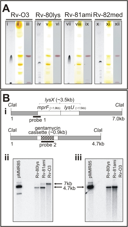 "Polar lipid and Southern blot analysis of the lysX mutant strain.A: Mtb strains were grown in the presence and absence of 14C-lysine. Total lipids were extracted in chloroform∶methanol (2∶1 v/v) and resolved by TLC on Silcia Gel 60 (EMD Chemicals, New Jersey) in a solvent system of chloroform∶methanol∶water (65∶25∶4 v/v/v). TLC plates were either visualized by autoradiography (lanes i, iv, vii and x), exposed to iodine vapors (lanes ii, v, viii and xi), or stained with ninhydrin (lanes iii, vi, ix and xii). B: Southern blot analysis of Mtb lysX mutant strains. B-i: The ClaI fragment bearing the wild type lysX gene (3.5 kb) with the locations of the mprF and lysU regions marked. The dark box designated as ""probe 1"" is an approximately 750 bp fragment that hybridizes with the 5′-end of lysX and 160 bp of the lysX coding region. The ClaI fragment bearing the mutant lysX gene disrupted with the gentamycin cassette (0.9 kb) is also shown. The dark band designated as ""probe 2"" is the 900 bp gentamycin gene that hybridizes with the mutant lysX gene. B-ii: Southern blot analysis of ClaI-digested Mtb genomic DNA hybridized with probe 1. The 7 kb and 4 kb band positions represent Rv-03 and Rv-80lys, respectively. Note that the complemented copy contains a band corresponding to the integrated copy of lysX gene plus the flanking plasmid sequence. B-iii: Southern blot analysis of ClaI-digested Mtb genomic DNA (see Fig. 1B-iii) hybridized with probe 2. pMMR85 is a positive control plasmid containing the mutant lysX gene plus flanking regions."