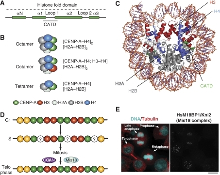 Epigenetic specification of centromeric chromatin. (A) The histone-fold domain of histone H3 proteins is composed of four α-helical domains (αN and α1–α3). Loop 1 separates α1 and α2. The CENP-A targeting domain (CATD) is sufficient for localization to centromeres when substituted into canonical H3 (the amino acids highlighted in orange are required in Drosophila). The CATD was identified for a 10-fold slowing of hydrogen exchange along the peptide backbone, probably because of increase rigidity of the interface it forms with its histone H4 (Black et al, 2004). (B) In non-centromeric regions, canonical histone H3 assembles into octameric nucleosomes composed of two H2A, H2B, H3, and H4 histone subunits. In centromeric chromatin, CENP-A can assemble into homotypic octamers, in which both H3 subunits are replaced by CENP-A, or into heterotypic octamers, which contain one canonical H3 and one CENP-A subunit. In Drosophila melanogaster, CENP-A has been reported to form half nucleosomes, homotypic tetramers containing one subunit each of H2A, H2B, H4, and CENP-A/CID. (C) Ribbond model of the nucleosome core particle (PDB ID 2CV5). Histone H3 is in red. When grafted onto histone H3, the CATD of CENP-A (green) allows specific and selective incorporation of the H3 chimaera at the centromere. The CENP-A2:H42 tetramers are more compact and rigid than the H32:H42 tetramers (Black et al, 2004). (D) CENP-A is only replenished in telophase. Thus, chromatin entering S phase with a full complement of CENP-A, emerges from DNA replication with half the original levels. The halved levels are retained throughout mitosis. (E) The localization pattern of M18BP1, a subunit of the Mis18 complex. The figure derives from Maddox et al (2007). The dots on the right panel represent centromeres/kinetochores.