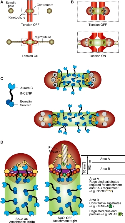 Error correction and the spindle checkpoint. (A) Schematic description of the geometry of the centromere–kinetochore interface in the absence and presence of tension. (B) The boxed area in (A) enlarged. Phosphorylation of certain substrates at the centromere–kinetochore interface is constitutive (the yellow circle marked by 'P'), that is the substrate is phosphorylated with or without tension. Other substrates are only phosphorylated in the absence of tension, because their separation from the centromere exceeds a threshold value when tension is present. (C) Left: schematic description of the CPC complex. Right: the CPC occupies the centromere, and only a subset of complexes is located near the centromere–kinetochore interface. (D) A comprehensive model of checkpoint control and error correction. In the absence of tension, either substrate like Ndc80 become phosphorylated by Aurora B or by other kinases whose activation requires Aurora B. This creates a condition for SAC activation through the recruitment of SAC proteins (Ditchfield et al, 2003; Hauf et al, 2003). On the other hand, the phosphorylation of Ndc80 decreases the binding affinity for microtubules (Cheeseman et al, 2006; DeLuca et al, 2006; Ciferri et al, 2008). This creates a state of labile attachment that will become corrected unless a force is applied. The removal of Ndc80 and possibly other substrates from the reach of Aurora B stabilizes the attachment through the action of a phosphatase.