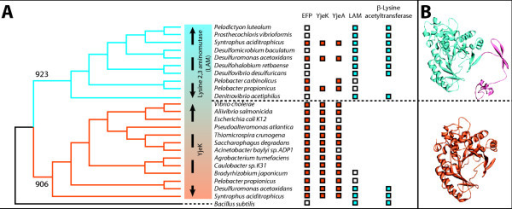 Phylogenetic and structural analysis of the LAM family of proteins. A- Phylogenic tree generated with a subset YjeK and LAM proteins. Methods for alignment and tree construction are described in the text. This analysis shows that YjeK (in orange) and LAM (in blue) proteins forms distinct clades with relevant bootstrap values (923 for the LAM clade and 906 for the YjeK clade). The boxes correspond to the presence of the genes encoding for the protein indicated on top of the figure in the corresponding organism, white for genes present but not involved in a clustering, orange for genes that cluster with efp, and blue for genes that cluster with β-lysine acetyltransferase (Lysine degradation pathway). Accession numbers for the protein used can be found in Additional file 1. B- Three dimensional structure of LAM from Clostridium subterminale SB4 [24] (PDB: 2A5H) in blue with the C-terminal multimerization domain in pink, and 3D-model of YjeK from Acinetobacter baylyi based on C. subterminale SB4. The 3D model was build by using the homology method on the SWISS-MODEL web server [41-43].