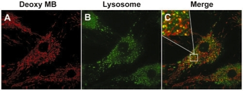 Co-localization of fluorescence signal from random MB with lysosome staining. Twenty-four hours after random MB delivery, cells were incubated with LysoTracker to stain lysosomes, and the signal from Cy3 and LysoTracker were imaged using a deconvolution microscope. Some of the spot-like signal from random MB (A) is co-localized with signal from lysosome staining (B), as indicated by the merged images in (C).