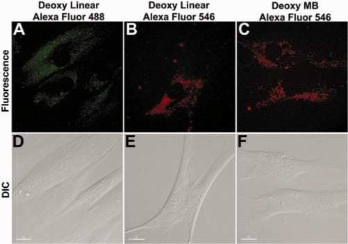 Signal distribution of Alexa Fluor-labeled oligonucleotide probes, as indicated by fluorescence (A–C) and DIC (D–F) images of HDF cells 24 h after delivery of probes, including random-sequence linear oligonucleotide probes labeled with Alexa Fluor 488 (A and D) and Alexa Fluor 546 (B and E) respectively, and random-sequence MBs labeled with Alexa Fluor 546 (C and F). Alexa Fluor labeled probes showed perinuclear localization instead of mitochondria accumulation. Scale bar = 15 µm.