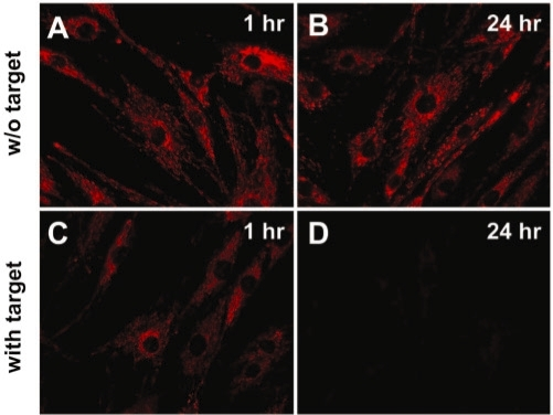 Fluorescence images of Cy3-labeled random-sequence linear ODN probe showing that the ODN probes are not inside the mitochondrial inner membrane. After delivery of 1 µM of Cy3-labeled random-sequence linear ODN probes, HDF cells were incubated for 24 h. Cells were further incubated without (A and C) or with (C and D) 2 µM of quencher-conjugated linear complementary target, and imaged at 1 h (A and C) or 24 h (B and D) after target delivery. The same exposure time was used for all images.