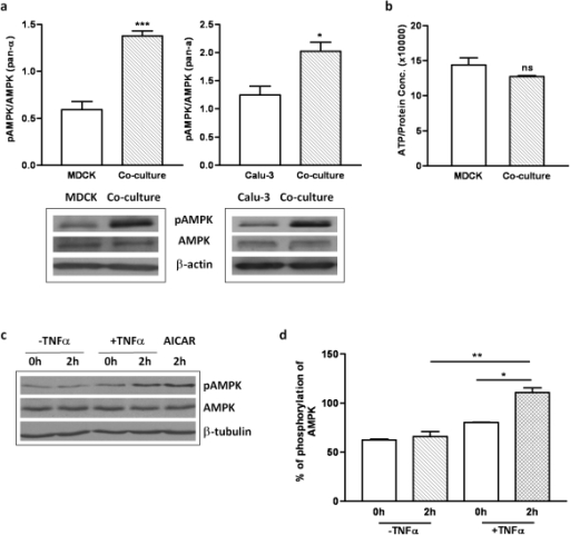 AMPK is activated in the epithelium-lymphocyte co-culture and by TNF-α.(a) Western blot results showing increased level of AMPK phosphorylation in MDCK-lymphocyte co-culture and Calu-3-lymphocyte co-culture as compared to MDCK and Calu-3 cultured alone, respectively. Total AMPK remained unchanged, indicating that AMPK is activated in these co-cultures, with beta-actin used as loading control. The corresponding statistical analysis is on the right panel (*, p<0.05; ***, p<0.001). (b) ATP assay showing no significant changes of cellular ATP levels in MDCK-lymphocyte co-culture vs. MDCK cells alone ('ns' stands for no significance). Cell lysates from MDCK cells with and without lymphocytes were subjected to an ATP assay. The ATP contents were normalized to the total protein amount. Data were from three experiments. (c) Lysates prepared from MDCK cells maintained in α-MEM in the absence or presence of TNF-α were blotted with the indicated antibodies. Treatment with AICAR served as the positive control for AMPK activation. (d) The activated AMPK was represented as a relative ratio to total AMPK. The phosphorylation of AMPK is significantly increased by exposure for 2 hours to TNF-α treated, as assessed by Student's test (**, p<0.01).