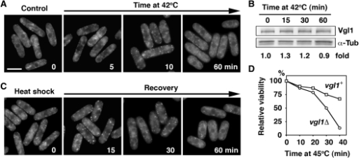 Assembly and disassembly of heat shock-induced Vgl1 granules. (A) Vgl1-GFP was visualized after growth to mid-logarithmic phase at 30°C (time 0) or after a shift to 42°C for the time indicated. Bar: 5 µm. (B) Whole-cell protein extracts from cells expressing Vgl1-TAP incubated at 42°C for the times indicated were prepared by alkaline extraction followed by trichloroacetic acid precipitation. The extracts were separated by SDS–PAGE and subjected to immunoblotting using anti-PAP (Peroxidase-Anti-Peroxidase soluble complex) antibodies to reveal Vgl1 proteins. Antibodies against α-tubulin were used as controls. The relative level of Vgl1 is indicated beneath each lane (average of two independent experiments). (C) Localization of Vgl1-GFP after a 15-min incubation at 42°C (time 0) followed by a shift back to 30°C for the times indicated. (D) The indicated strains were grown in liquid culture to mid-logarithmic phase at 30°C and shifted to 45°C. Samples of 500 cells taken at the indicated times after the shift to 45°C were plated in duplicate onto YES agar and incubated at 30°C. After 3 days of growth, viability was scored as a percentage of the number of colonies formed by the sample taken at time zero.