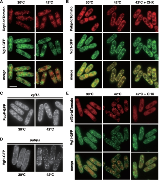 Colocalization of Vgl1 with poly(A)-binding protein (PABP) and eIF3b, a component of the translation initiation complex, but not with the decapping enzyme Dcp2 under thermal stress. (A) Merged images of fluorescence micrographs showing Dcp2-tdTomato (red) and Vgl1-GFP (green) localization in living cells grown at 30°C and after a 15-min incubation at 42°C. Bar: 5 µm. (B) Colocalization of Pabp-tdTomato (red) and Vgl1-GFP (green) in living cells under thermal stress (15 min at 42°C) that is inhibited by the addition of 100 µg/ml cycloheximide (CHX) 1 min before temperature shift. (C) Fluorescence micrographs of the vgl1Δ mutants expressing Pabp-GFP grown at 30°C and after a 15-min incubation at 42°C. (D) Fluorescence micrographs of pabpΔ mutants expressing Vgl1-GFP grown at 30°C and after a 15-min incubation at 42°C. (E) Merged images of fluorescence micrographs showing Vgl1-GFP (green) and eIF3b-tdTomato (red) localization in living cells grown at 30°C and after a 15-min incubation at 42°C that is inhibited by the addition of 100 µg/ml cycloheximide (CHX) 1 min before temperature shift.