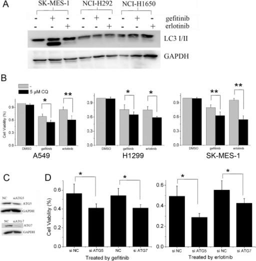 CQ, an autophagy inhibitor, enhanced rhArg- induced growth