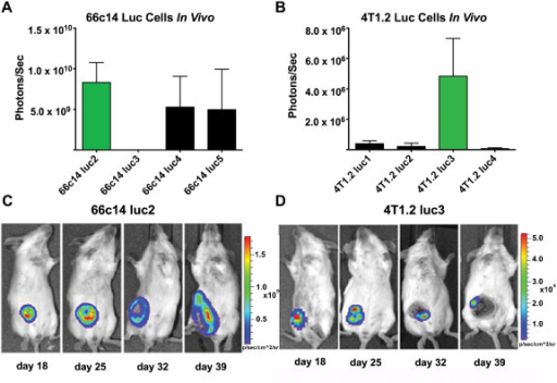 BLI of 66c14 luc and 4T1.2 luc cells in vivo . Tumor bioluminescence intensities from each of the (A) 66c14 luc and (B) 4 T1.2 luc tumor-bearing mice on day 25 after tumor cell injection are shown. 66c14 luc2 and 4 T1.2 luc3 exhibited the highest BLI intensity in vivo (green bars). Sequential images of (C) 66c14 luc2 and (D) 4 T1.2 luc3 tumor-bearing mice imaged ventrally by BLI once a week for 4 weeks are shown. 66c14 luc2 tumors continued to grow while 4 T1.2 luc3 tumors became necrotic between day 25 and 32. Data expressed as photon/sec (mean ± std dev; n=3).