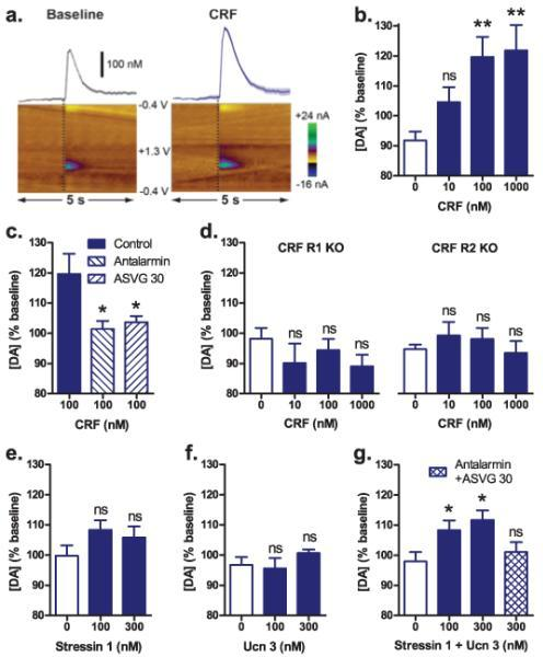 CRF increases dopamine release in the nucleus accumbens through co-activation of CRF R1 and R2a, Representative dopamine release evoked by electrical stimulation (dashed lines) before (left) and after (right) application of 100-nM CRF (mean ± s.e.m. for 5 consecutive stimulations, top) and corresponding two-dimensional plots depicting changes in peak dopamine oxidation current (pseudocolor) with time as the abscissa and applied potential as the ordinate (bottom). b, Concentration response to CRF, n = 11-18. c, Effect of antagonists for CRF R1 (antalarmin, 1000 nM) or CRF R2 (anti-sauvagine 30, 250 nM; ASVG 30), n = 18-20. d, CRF in mice lacking gene encoding the CRF R1 (left) or CRF R2 (right) receptor, n = 7-13. e-g, Effect of CRF R1 agonist, stressin 1, n = 9-15 (e), CRF R2 agonist, urocortin 3 (100 or 300 nM), n = 5-8 (f) or their co-application, n = 8-15 (g). Data on bar graphs are mean + s.e.m.; ns p > 0.05, * p < 0.05, ** p < 0.01 vs vehicle.