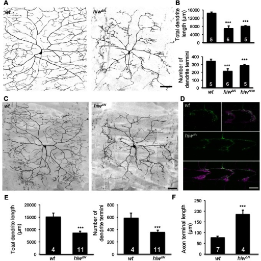Hiw differentially regulates dendrite and axon growth in C4da neurons.(A) Dendrites of the C4da neuron ddaC in hiwΔN homozygous mutant larvae are reduced, as compared to wild-type (wt). C4da neurons were labeled by the C4da marker ppk-CD4::tdTomato. Scale bar, 100 µm. (B) Bar charts showing the quantification of total dendrite length (top), number of dendrite termini (bottom) of ddaC in wt, hiwΔN, and hiwND8 larvae. Sample numbers are shown in the bars of the bar charts throughout this article. (C–D) hiw mutant MARCM clones exhibit impaired dendritic growth and overgrowth of axon terminals. (C) Representative dendrites of wt and hiwΔN mutant ddaC neurons. Scale bar, 50 µm. (D) Representative axon terminals of a single wt ddaC and a single hiwΔN mutant ddaC. The axon terminals of wild-type ddaC clones (green) extend within one segment length of the C4da neuropil (magenta) labeled by ppk-CD4::tdTomato. The axon terminals of hiwΔN mutant clones (green) expand over multiple segment lengths of the C4da neuropil (magenta). Scale bar, 10 µm. (E) Quantification of total dendrite length (left) and number of dendrite termini (right) of wt and hiwΔN MARCM clones. (F) Quantification of axon terminal length of wt and hiwΔN MARCM clones.