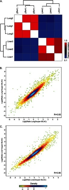 Reproducibility of proteomic data. Comparison of triplicate analysis of lung and liver tissues shows high correlation between replicates. A, heat map of the Pearson correlations of ratios relative to super-SILAC. B, C, scatter plots comparing replicate lung (B) and liver (C) samples. Color code represents density as indicated in the bar at the bottom.
