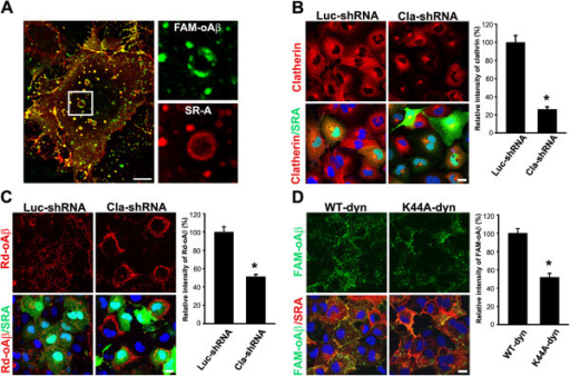 Clathrin and dynamin-2 mediate SR-AI-dependent oAβ internalization. A, SR-AI-transfected COS-7 cells were incubated with FAM-oAβ (green) and immunostained with anti-SR-A antibody (red). Representative confocal images showed the co-localization of FAM-oAβ and SR-AI in endocytotic vesicles (left panel). A magnified image of the boxed region was shown in the right panels. Scale bar, 10 μm. B, COS-7 cells were co-transfected with SR-AI and clathrin shRNA or luciferase shRNA (negative control). The confocal images and the quantification of clathrin immunoreactivity showed clathrin shRNA knockdown the expression of clatherin in SR-AI-positive cells. The experiments were repeated at least three times. C. The relative level of internalized oAβ was significantly reduced by clathrin shRNA compared with luciferase shRNA in SR-AI-positive cells. D, COS-7 cells were co-transfected with SR-AI and HA-tagged wild type dynamin-2 or dominant-negative dynamin-2 (K44A). The relative intensity of internalized oAβ was significantly reduced by dynamin-2 (K44A) in SR-AI-positive cells. More than 100 SR-AI-positive cells were analyzed. Bars indicate mean ± SEM of three independent experiments (*p < 0.05).