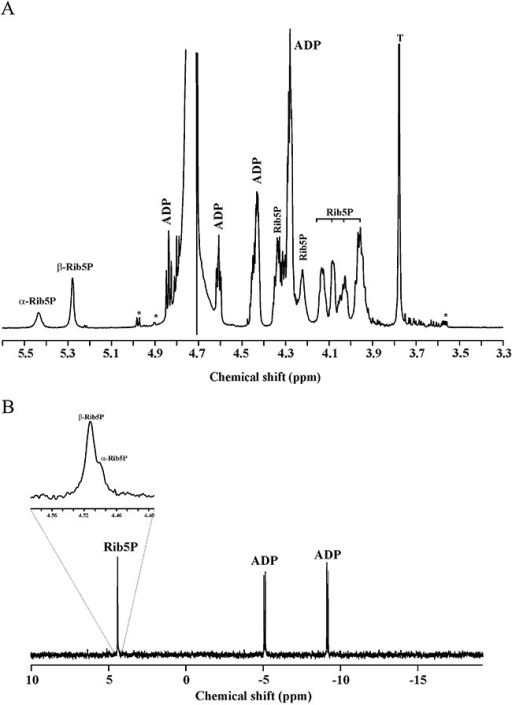 1H‐NMR (A) and 31P‐NMR (B) spectra of the ribokinase reaction. The sample was prepared in 2H2O as described in Experimental procedures and the spectra were acquired at 33°C. Proton and phosphorus spectra were processed with 0.1 and 1 Hz line broadenings. Rib5P, ribose‐5‐phosphate; the peaks indicated with an asterisk represent ribose. The inset (in B) shows magnification of the region between 4.49 and 4.47 ppm.