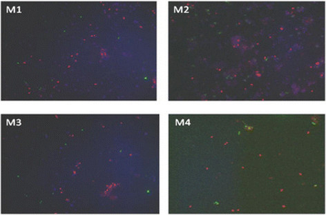Whole-cell specific hybridization of the endophytic metanotrophic population with probes: Mg84 (type I, pink), Ma 450 + Mg705 (type II, green) and DAPI staining (bacteria, dark blue) by FISH. M1 – S. flexuosum , M2– S. magellanicum , M3– S. fallax , M4 – S. magellanicum.