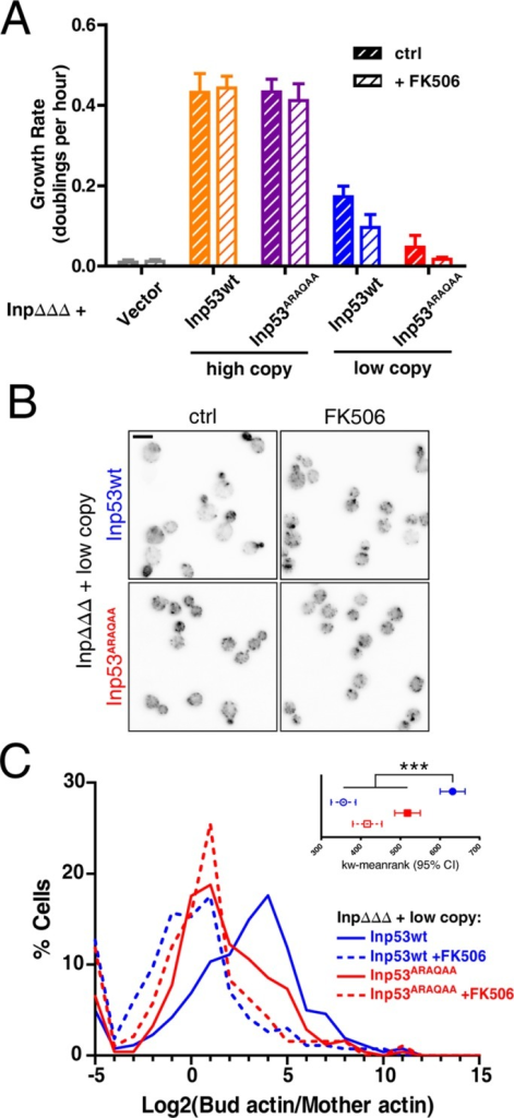 Calcineurin regulates actin polarity via Inp53. (A) Inp53 growth rate (doublings per hour) during exponential growth in dextrose. (B) Representative micrographs of inpΔΔΔ cells expressing low-copy INP53 or INP53ARAQAA stained with rhodamine–phalloidin. (C) Histograms of actin polarity measurements in inpΔΔΔ cells expressing low-copy INP53 or INP53ARAQAA (pRS316-INP53 and pRS316- INP53ARAQAA) in dextrose without stress. N > 200 cells/condition; insets are Kruskal–Wallis mean ranks with 95% confidence interval; ***p < 0.0001.