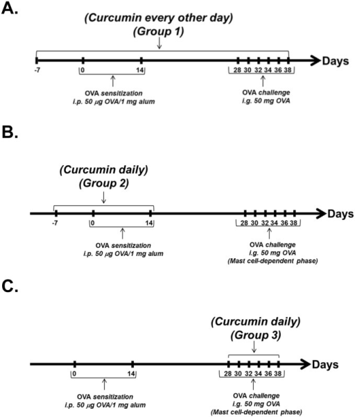 Curcumin treatment protocols.(A) Mice were gavaged with curcumin daily beginning one week prior to sensitization and every other day after the 1sti.p. exposure. (B) Mice were gavaged with curcumin daily only during the OVA-sensitization phase from days 1–14. (C) Mice were gavaged daily with curcumin during the OVA-challenge phase alone. On days when mice received OVA treatment, curcumin was administered a few minutes later, after all experimental mice received OVA.