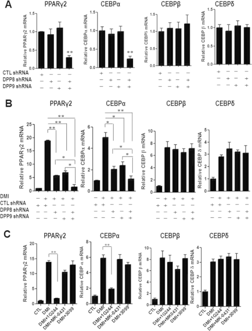 Inhibition of DPP8 and DPP9 prevents PPARγ2 induction during 3T3-L1 differentiation.(A) PPARγ2, CEBPα, CEBPβ and CEBPδ mRNA levels were measured in control-shRNA-transduced 3T3-L1 cells (shCTL) and cells with DPP8/9 shRNAs (shDPP8, shDPP9) at basal level. (B) PPARγ2 and CEBPα mRNA levels were measured in control-shRNA-transduced cells (shCTL.) and cells with DPP8/9 shRNAs (shDPP8, shDPP9) after 48 hour treatment of DMI. CEBPβ and CEBPδ mRNA levels were measured after 6 hour treatment. (C) PPARγ2 and CEBPα mRNA levels were measured after 48 hour treatment of dexamethasone, isobutylmethylxanthine and insulin (DMI) with or without the DPP4 inhibitor MK-0431(DMI+MK-0431), the DPP8/9 inhibitor 1G244 (DMI+1G244), the FAP inhibitor 3099 (DMI+3099). CEBPβ and CEBPδ mRNA levels were measured in these cells after 6 hour treatment.