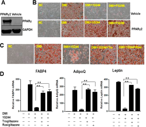 TZDs or ectopic PPARγ2 rescues inhibition of DPP8/9 induced adipogenic defects in 3T3-L1 cells.(A) Representative western blot for the expression of PPARγ in stable 3T3-L1 cells transduced with control plasmid (vehicle) or PPARγ2 plasmid (PPARγ2). The blots were cropped, and the full-length blots are presented in the supplementary information. (B) Oil Red O staining of control cells or PPARγ2 overexpressed 3T3-L1 cells, treated vehicle (NC), DMI (DMI), 500 μM non-selective DPP4 family inhibitor P32/98 (DMI+P32/98) or 20 μM DPP8/9 inhibitor 1G244 (DMI+1G244) at day 8 of differentiation. (C) Oil Red O staining of 3T3-L1 cells treated with 20μM DPP8/9 inhibitor 1G244 (DMI+1G244) or 1G244 plus 1 μM rosiglitazone(DMI+1G244+Rosi) or 5 μM troglitazone (DMI+1G244+Tro). (D) Adipocyte markers, FABP4, adiponectin (AdipoQ) and leptin, were measured in these cells by real time PCR at day 8 of differentiation. β-actin expression was used as an internal control.