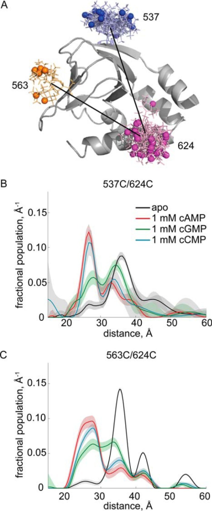 DEER distance distributions involving residue 624.A, structure of HCN2-CL + CNBD (Protein Data Bank code 3ETQ), in gray, with predicted spin label rotamers, in color, at residues 537, 563, and 624. Spin label rotamers were predicted using MMM software (25). B, DEER distance distributions of HCN2-CL + CNBD 537/624. C, DEER distance distributions of HCN2-CL + CNBD 563/624. Distance distributions for apo HCN2-CL + CNBD are in black, of HCN2-CL + CNBD bound to 1 mm cAMP in red, bound to 1 mm cGMP in green, and bound to 1 mm cCMP in cyan.
