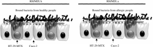 Small intestinal barrier models used in the study