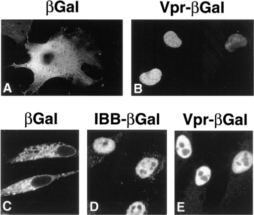 Nuclear import of Vpr is a signal-mediated process. Indirect immunofluorescence of HeLa cells transfected with an expression plasmid encoding either βgal (A) or Vpr–βgal fusion  protein (B). Import of FITC-labeled βgal (C), IBB–βgal (D), and  Vpr–βgal (E) in digitonin-permeabilized cells. Reactions shown  here and in all of the following figures contain rabbit reticulocyte  lysate with an energy-regenerating system unless otherwise indicated.