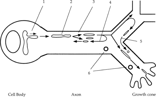 Circulation model of axonal transport of plasma membrane and synaptic vesicle proteins. (1) Vesicles protrude from  the TGN in the cell body at the speed of fast axonal transport,  separate from the network, and proceed into axons. (2) In axons,  vesicles are tubular or spherical, and move at an average speed of  ∼0.8 μm/s. Net membrane flow was as high as 50 μm2/min. (3)  The vesicles break down into smaller vesicles while moving down  the axon. (4) Some vesicles switch direction and move retrogradely in axons. (5) Vesicles move from one branch to another  branch of an axon at a branching point. (6) Endosomes also move  bidirectionally. Tubulovesicular organelles circulate within axons  to deliver newly synthesized plasma membrane and synaptic vesicle proteins to the area where they are required.
