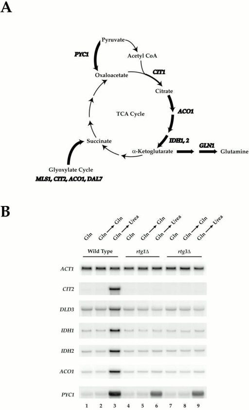 Rtg1 and Rtg3 are required for expression of distinct metabolic genes in MD-urea. (A) Summary of metabolic genes (bold) subject to glutamine-mediated transcriptional repression (see Table II; note that CIT1 is not listed in Table  as its MD-glutamine/MD-urea expression ratio of ∼2.0 fell below the cut off value of 3.0 required for listing). Genes depicted were similarly repressed in MD-glutamine and MD-glutamate, except for GLN1 (see Fig. 1). (B) Nitrogen source shift experiment. Wild-type (S288c), rtg1Δ (PLY037), and rtg3Δ (PLY039) cells were grown in MD-glutamine until 0.5 OD600/ml and were either harvested (lanes 1, 4, and 7) or transferred to MD-glutamine (lanes 2, 5, and 8) or MD-urea (lanes 3, 6, and 9) media for 30 min before harvesting. RNA was prepared and analyzed by Northern blotting and probed for the specified mRNAs.