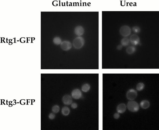 Rtg1 and Rtg3 are localized within the nucleus under glutamine-limiting conditions. rtg1Δ (EY0733) or rtg3Δ (EY0735) cells were transformed with pRtg1-GFP or pRtg3-GFP, respectively, and were grown to 0.5 OD600/ml in MD-glutamine or MD-urea and examined by fluorescence microscopy. Punctate nuclear fluorescence was observed for both Rtg1-GFP and Rtg3-GFP in MD-urea. The nuclear disposition of this GFP-based fluorescence was confirmed by its colocalization with DAPI-stained nuclear DNA (data not shown).