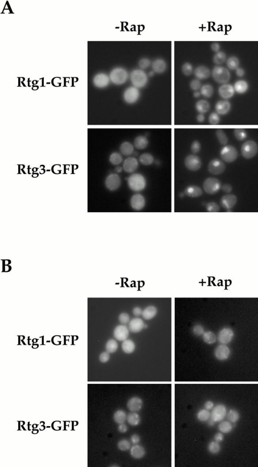 Rtg1 and Rtg3 are localized within the nucleus after rapamycin treatment in a TOR1-dependent manner. (A) rtg1Δ (EY0733) or rtg3Δ (EY0735) cells expressing Rtg1-GFP or Rtg3-GFP, respectively, were treated with drug vehicle alone (left) or with 1 μg/ml of rapamycin (right) for 5 min, followed by examination by fluorescence microscopy. Pronounced nuclear accumulation of both Rtg1-GFP and Rtg3-GFP was observed in cells treated with rapamycin. (B) The experiment in A was repeated using cells that carried the dominant rapamycin resistant TOR1-1 allele.